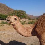 砂漠地帯の中の動植物の楽園 Wadi Darbatでラクダと戯れる